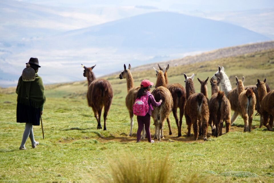 Eine Familie treibt ihre Lama-Herde nach Hause.