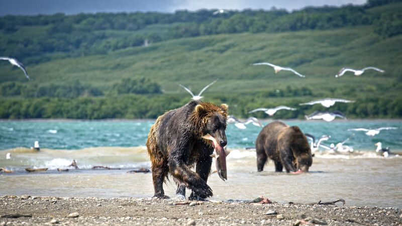 Bären beim Lachsfang © Diamir