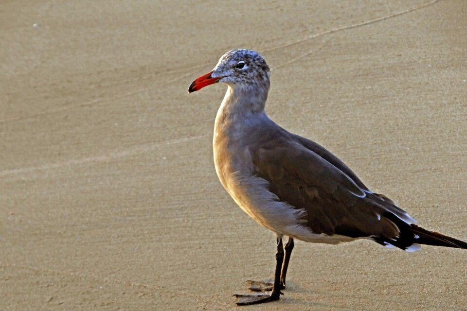 Neugierige Möwe am Manhattan Beach in L.A.