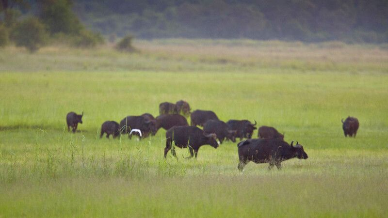 Popa Falls Lodge Büffelherde © Diamir