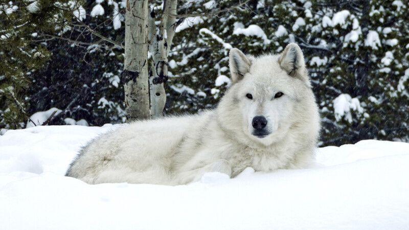 Wolf im Yellowstone NP © Diamir