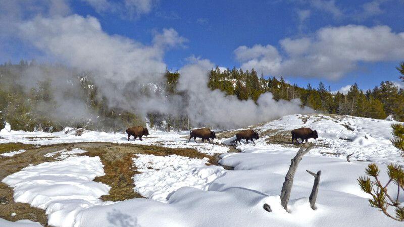 Bisons spazieren im Thermalgebiet von Old Faithful © Diamir