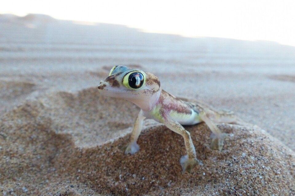 Putziger Gecko während der Living Desert Tour