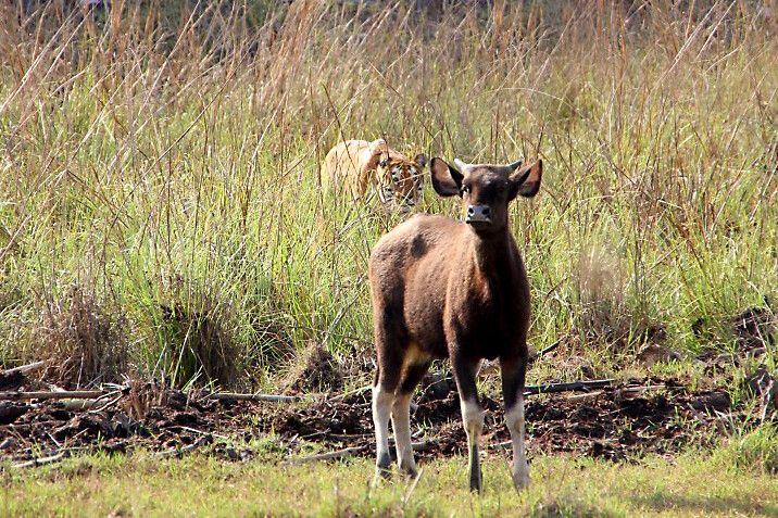 Tigerin Madhuri jagt auf Gaur im NP Tadoba