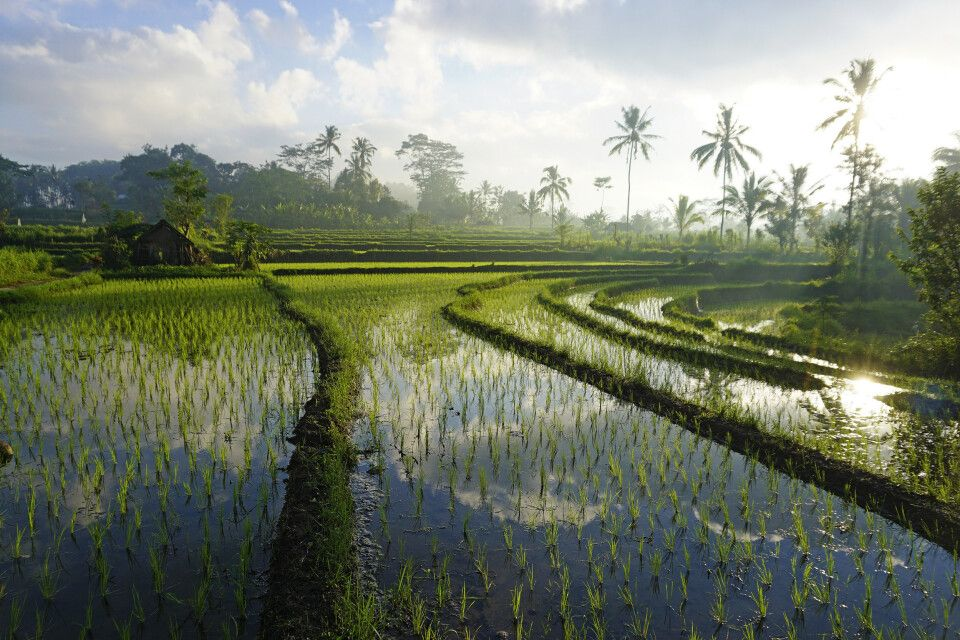 Reisfelder in Bangli