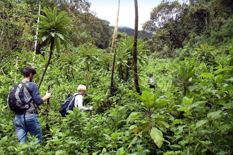 Auf gehts zum Gorilla Tracking im Volcanoes NP
