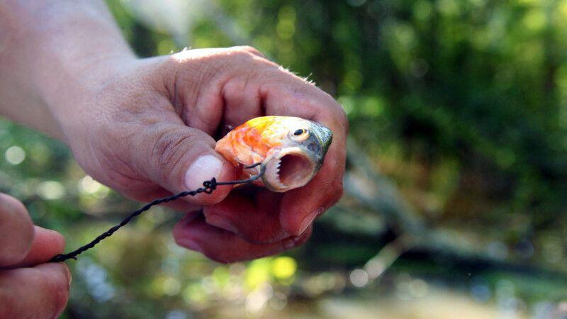 Die scharfen Zähne des Piranha ganz nah © Diamir