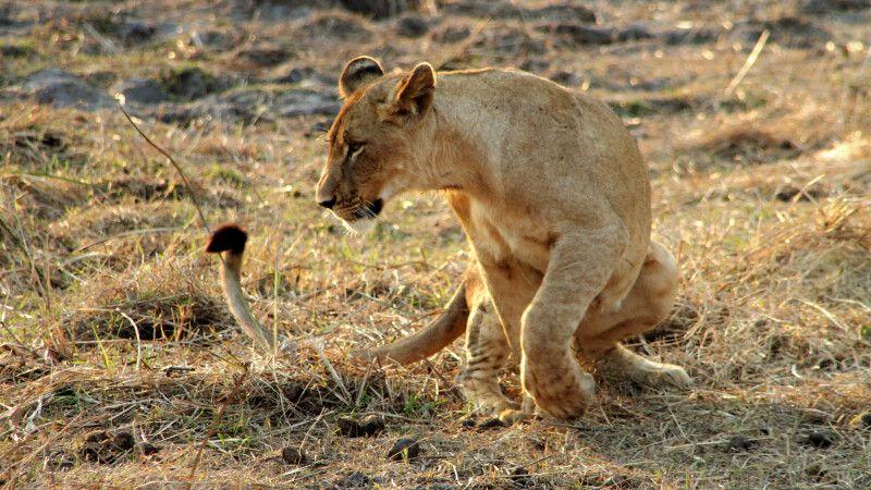 Junger Löwe im Gorongosa-Nationalpark © Diamir