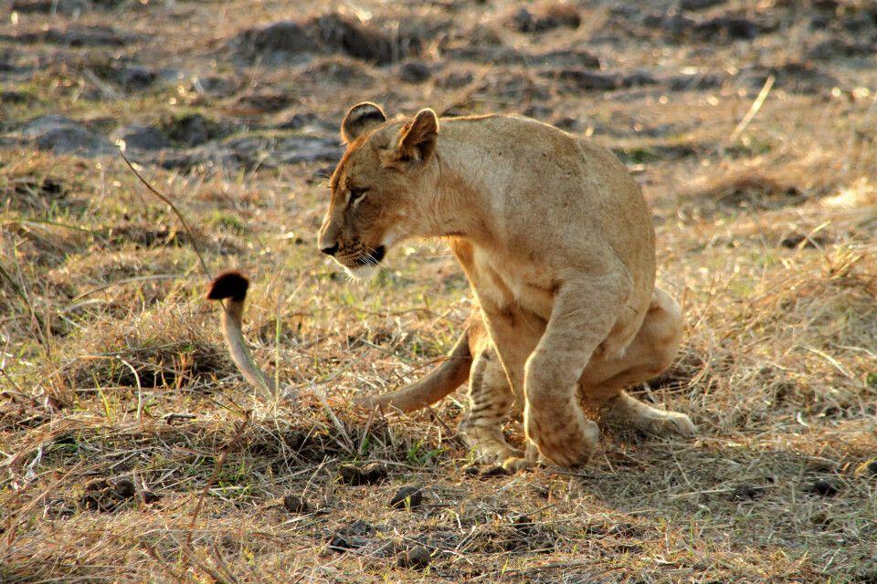 Junger Löwe im Gorongosa-Nationalpark