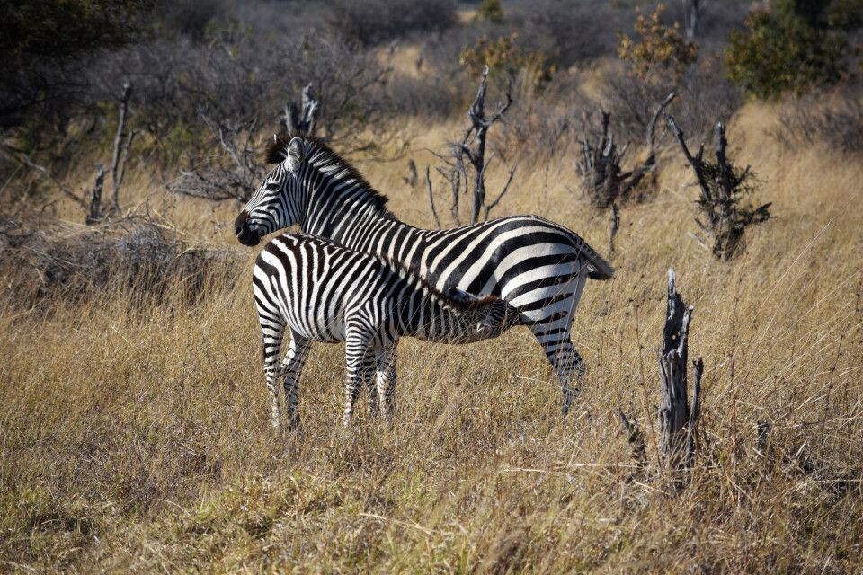Zebras im Hwange-Nationalpark