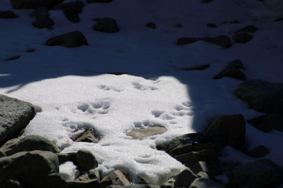 Spuren von Schneeleoparden