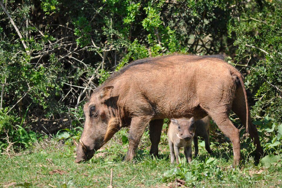 Warzenschwein mit Jungtier