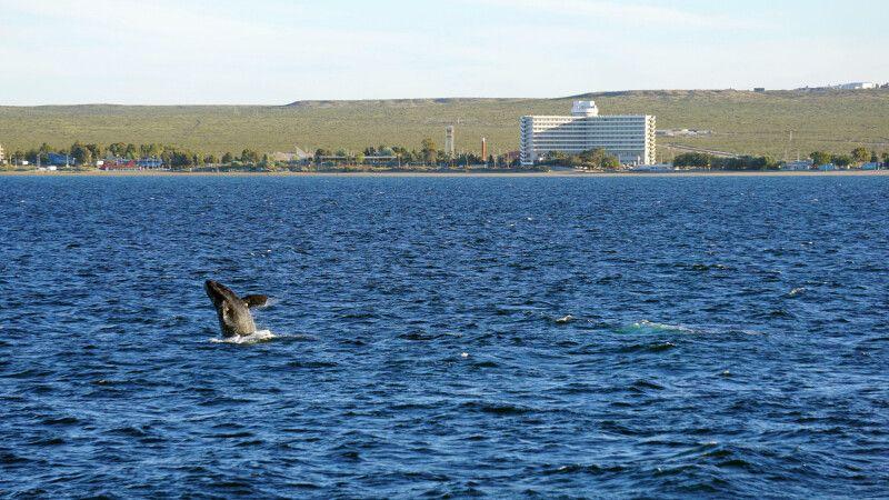 Glattwal vor Puerto Madryn © Diamir