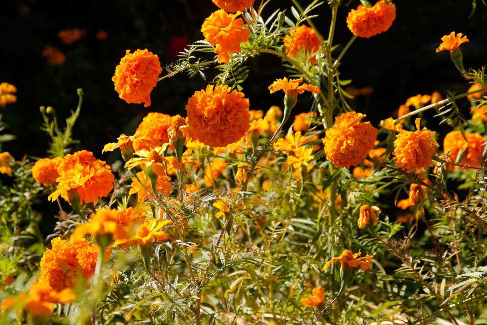 Marigold-Blumen im Himalaya