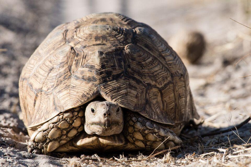 """Einer der """"Small Five"""": die Pantherschildkröte"""