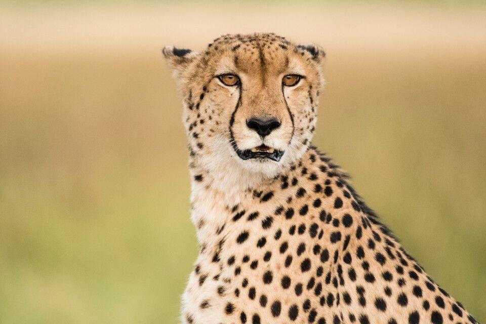 Aufmerksam, aber gelassen: Gepard