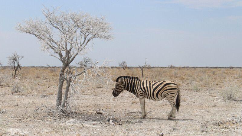 Zebra im Etosha NP © Diamir