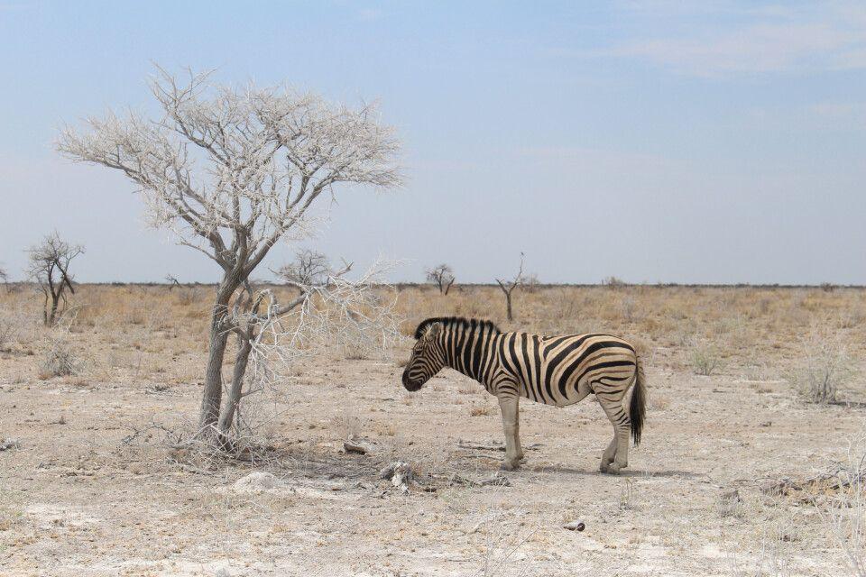 Zebra im Etosha NP