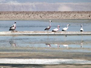 Flamingos im Atacama-Salzsee
