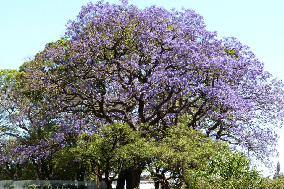 Ein Prachtexemplar einer Jakaranda in voller Blüte