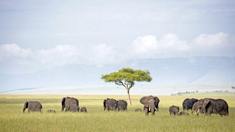 Elefanten in der Masai Mara © Diamir