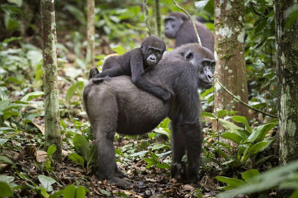 Gorilla mit Jungtier im Odzala-Kokoua-Nationalpark
