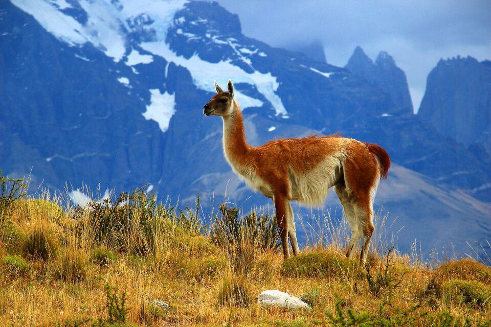 Guanako im Nationalpark Torres del Paine