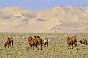 Kamel vor Sanddüne