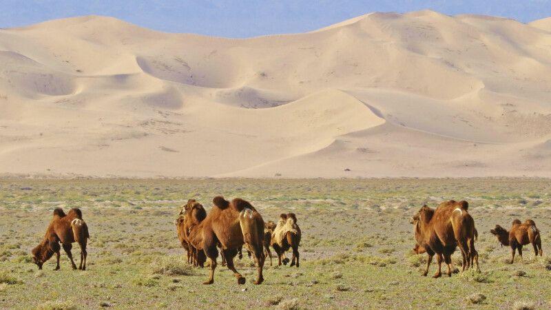 Kamel vor Sanddüne © Diamir