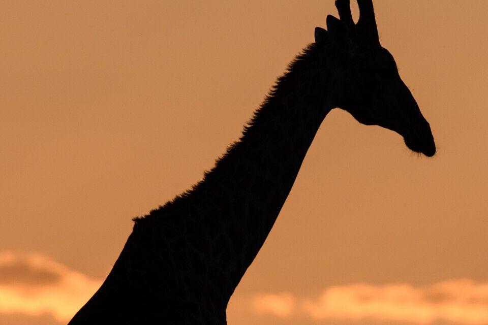Giraffensilhouette gegen den Abendhimmel