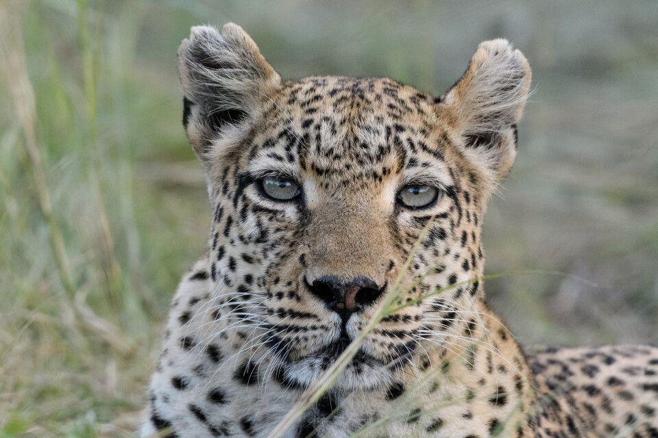 Aufmerksame Leopardin