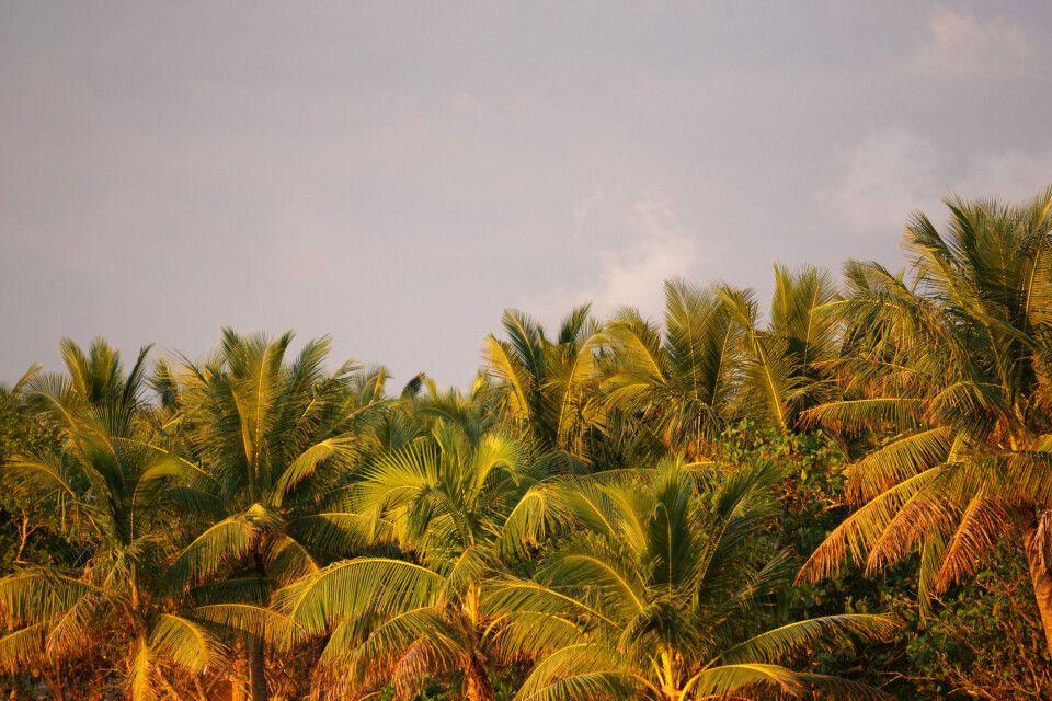 Palmwipfel in der Abendsonne