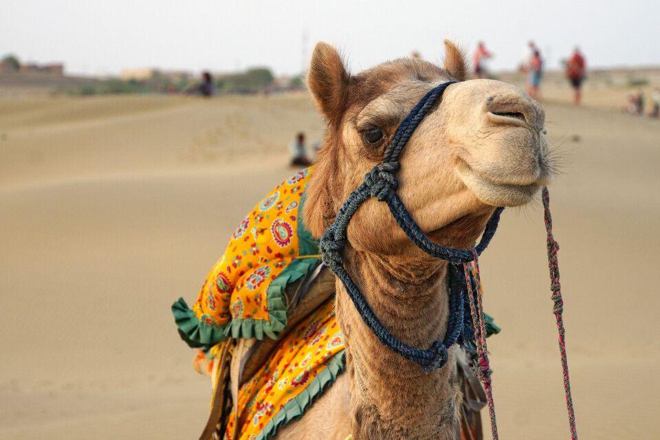 Kamelritt in der Wüste Thar bei Jaisalmer