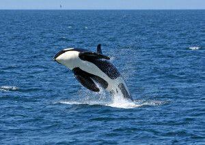 Walbeobachtung vor Hokkaido