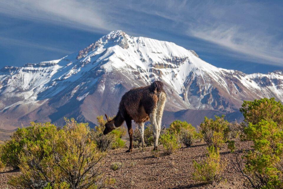 Grasendes Lama vor herrlicher Bergkulisse