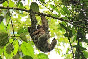 Costa Rica - Faultier