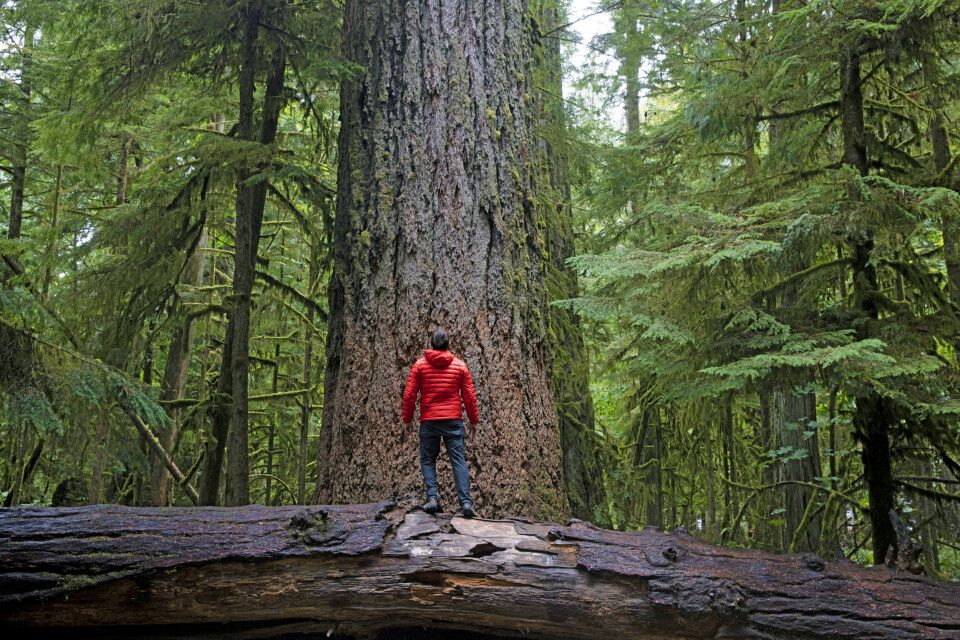 Wanderer bewundert Riesenbäume, Cathedral Grove, Vancouver Island