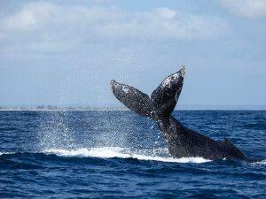 Ein Wal taucht ab