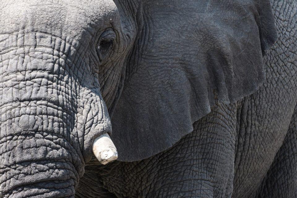 Elefantenporträt, Central Kalahari Game Reserve