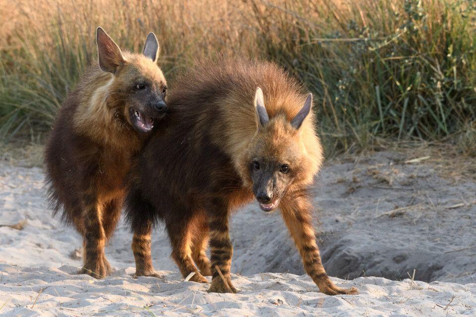 Eins der absoluten Highlights der Reise: Zwei junge Braune Hyänen balgen sich direkt neben dem Bau.