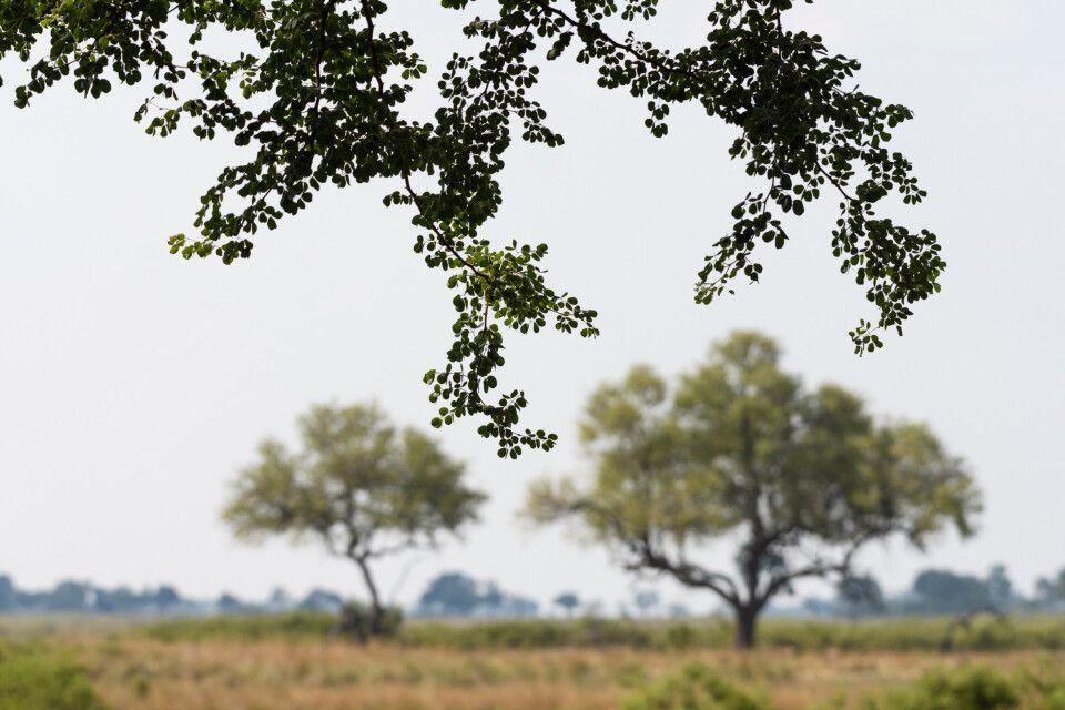 Formenspielerei: Baum-Details, aufgenommen im Camp Lagoon, Kwando Concession
