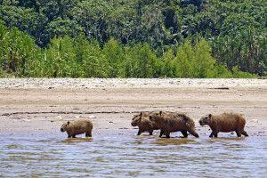 Eine Capybara-Familie (Wasserschweine) im Madidi-Nationalpark