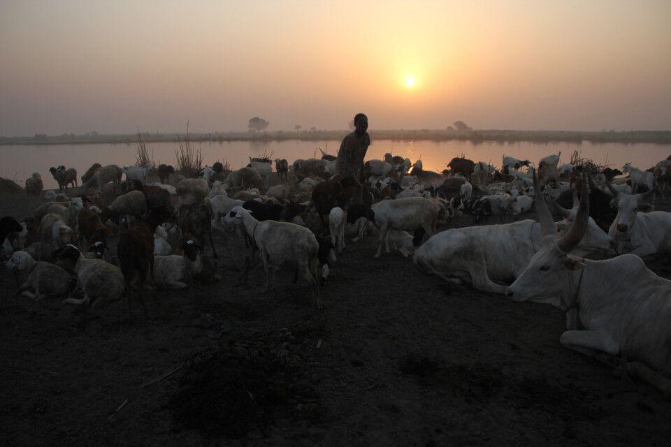 Ziegen und Rinder erwachen von der Nachtruhe