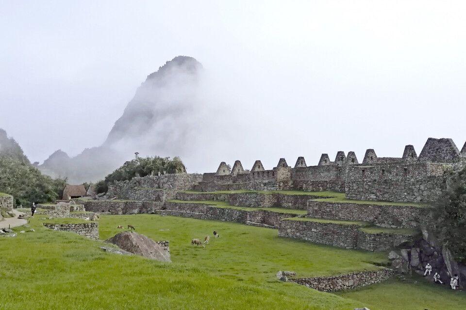Lamas grasen auf den Grünflächen der Machu Picchu Stätte