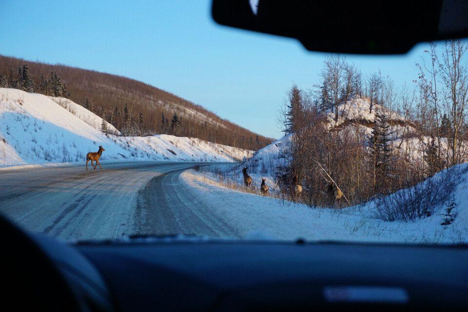 Wapitit-Hirsche an der Straße