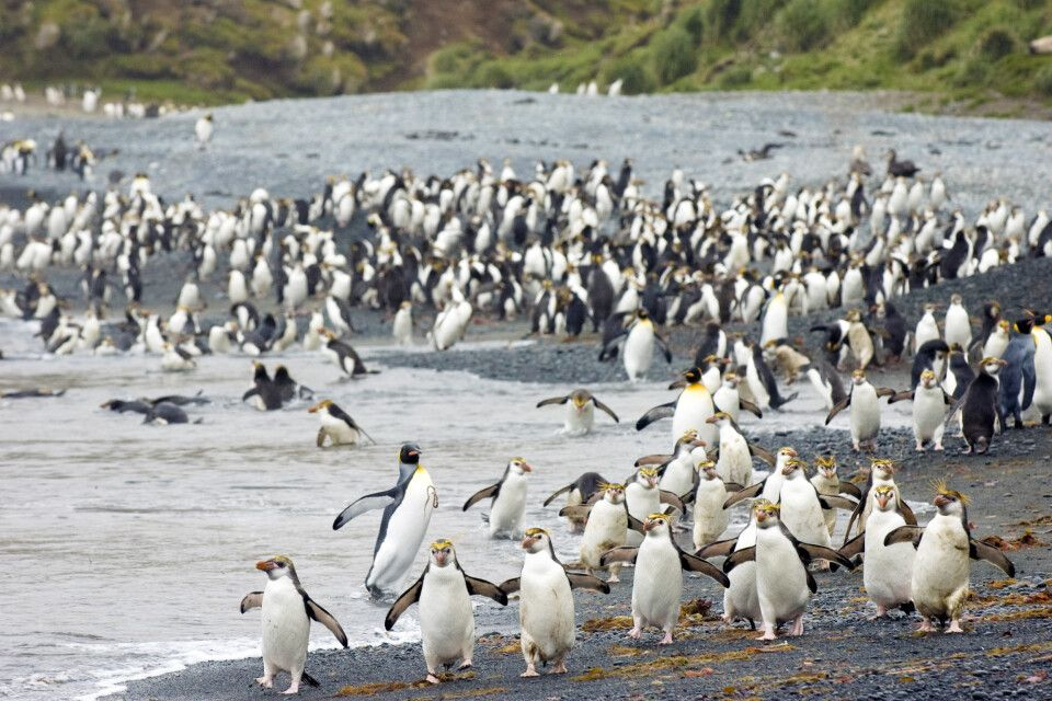 Haubenpinguine auf Macquarie Island