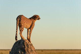 Als sich die Luft zum Abend hin abkühlte, stieg einer der beiden Geparde auf einen Termitenhügel, um Ausschau nach potenzieller Beute zu halten.