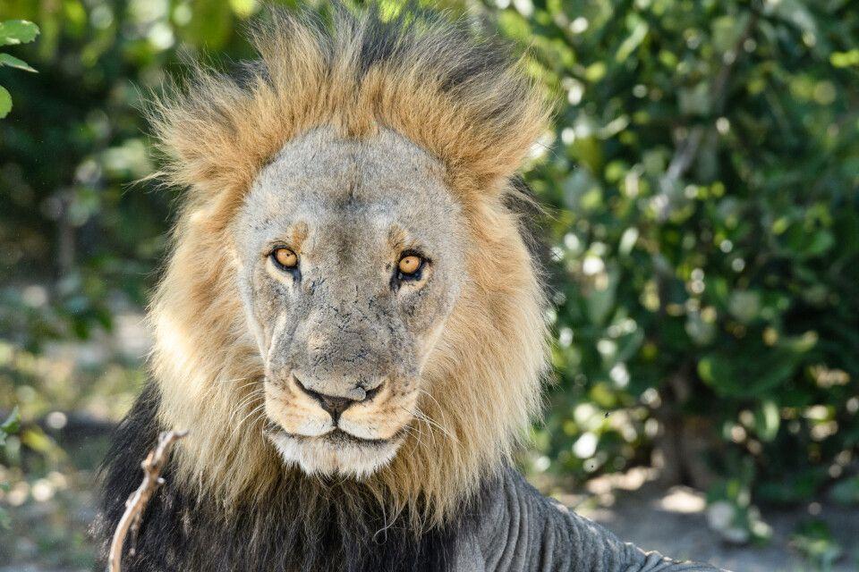 Schattenplatz bevorzugt: Ein Löwenmännchen hebt kurz den Kopf und beschließt dann, dass wir nicht weiter von Interesse sind.