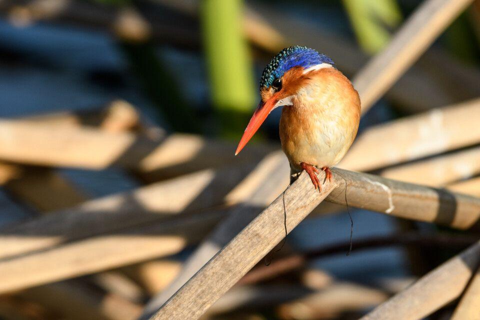 Farbenprächtiger Zwerg: Der Malachit-Eisvogel - oder Zwerg-Haubenfischer - gehört zu den schönsten Eisvogelarten, und in diesem Fall hielt er geduldig still für die Fotografen, die ihr Glück kaum fassen konnten.