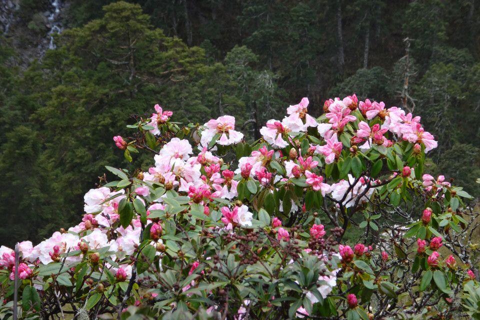 Am Wegesrand versüßen wunderbare Hänge mit Rhododendren den Ausblick – je nach Höhe in verschiedensten Größen.